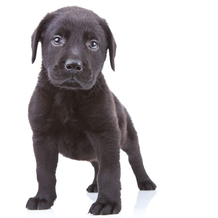 black labrador: alert labrador retriever puppy standing and looking at the camera Stock Photo