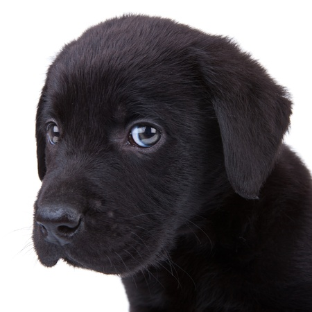 closeup puppy: cute little black labrador retriever puppy looking at the camera. closeup picture on its head