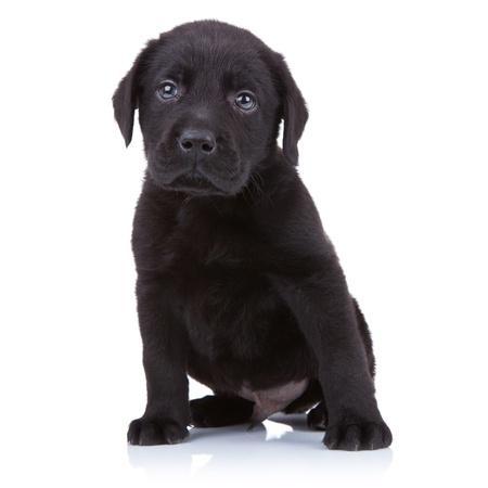 귀여운 검은 래브라도 리트리버 강아지 흰색 배경에 앉아