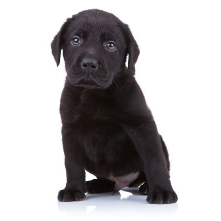 cute little black labrador retriever puppy sitting on a white background Фото со стока