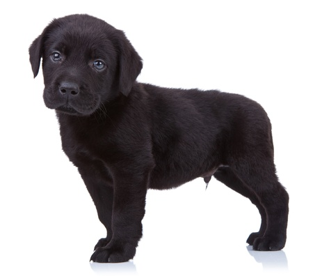 laboratory animal:  curious black labrador retriever puppy standing on a white background and looking at the camera