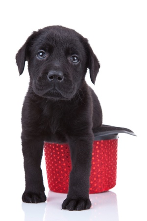 cute little black labrador retriever puppy sitting in a red show hat photo