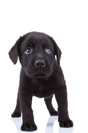 black labrador: cute little black labrador retriever puppy standing on a white background, looking shy