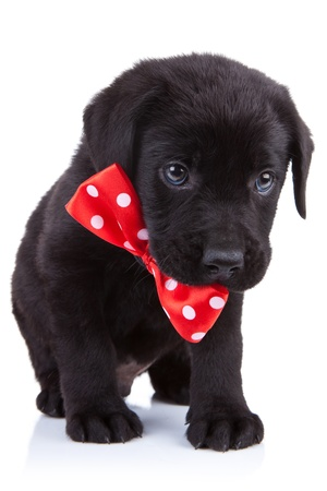 Labrador Retriever puppy in a handsome red bow tie over white photo