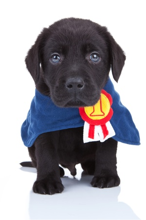 show dog: little champion - cute black labrador puppy wearing a champions cape on white background