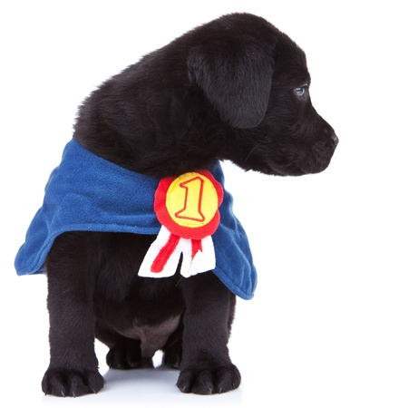 number of animals: little champion - cute black labrador puppy wearing a champions cape  and looking to its side