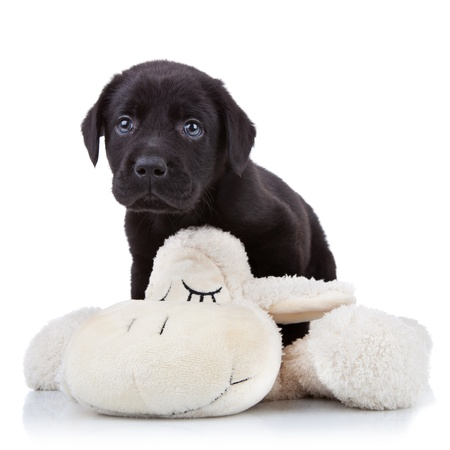 dog collar: shy little black labrador retriever puppy playing with a toy sheep  Stock Photo