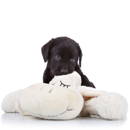 black labrador: little black labrador retriever puppy chewing on a toy sheep on white background