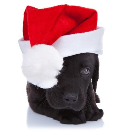 dog christmas: cute little santa - shy black labrador puppy with santa cap over white background
