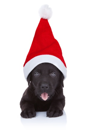 labrador christmas: cute little santa - black labrador puppy with big santa cap, panting on white background
