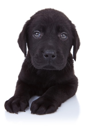 curious little black labrador retriever puppy sitting on white background photo