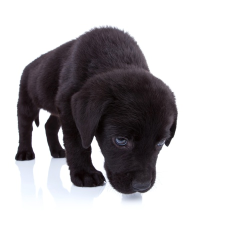 cute little black labrador retriever sniffing on white background photo