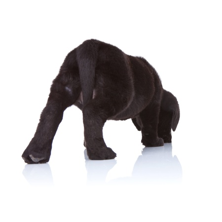 back of a black labrador retriever puppy sniffing on a white background photo