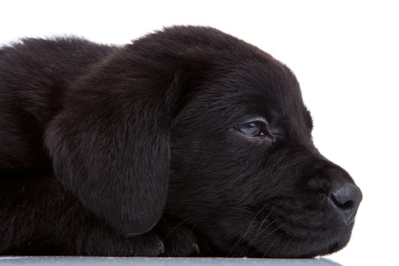 side view of a cute sleepy labrador retriever puppy on white background photo