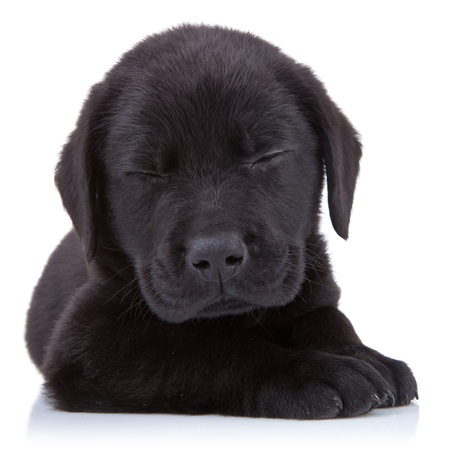 lieing: tired  black labrador lieing on a white backgrund Stock Photo