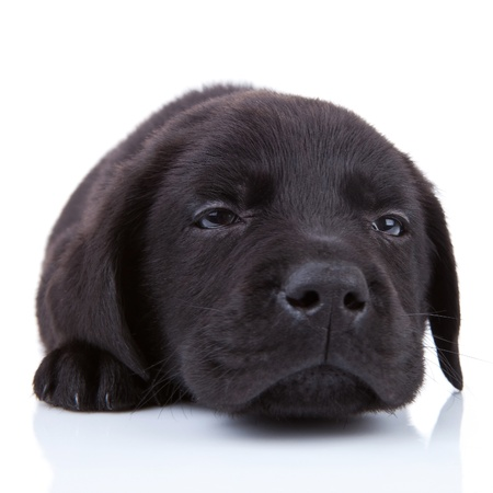 tired  black labrador, looking at the camera on white background photo
