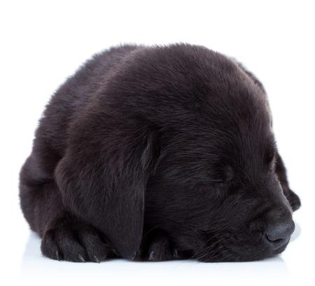 sleepy fur ball - cute labrador retriever puppy sleeping on white background photo