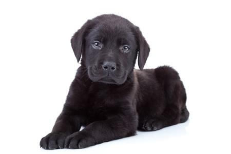 cute small black labrador retriever puppy on white background Stock Photo - 10520953