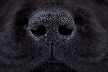 sniffing: macro picture of a wet black labrador puppys nose
