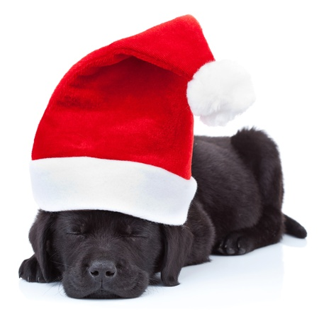 labrador christmas: cute little santa - black labrador puppy sleeping on white background Stock Photo