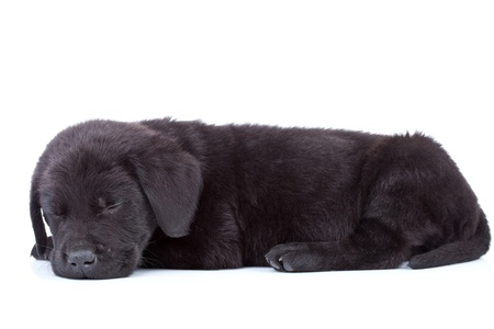 side view of a cute black labrador retriever puppy sleeping on white background photo