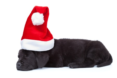 labrador christmas: cute little santa - side view of a black labrador puppy sleeping on white background