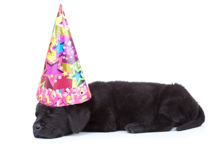 black labrador puppy sleeping after its birthday party on white background photo