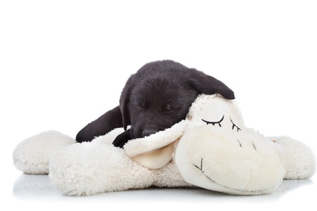 bakground:  black labrador puppy sleeping  on top of a toy sheep over white bakground