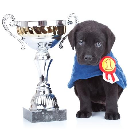 little champion - cute black labrador puppy winning a big trophy on white background photo