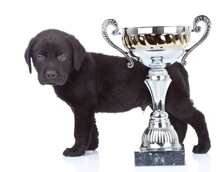 dog grooming: little champion - side view of a cute black labrador puppy standing behind its big cup