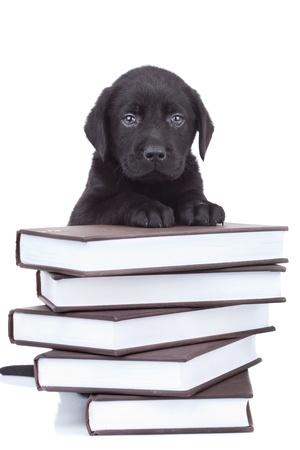 perro labrador: labrador poco inteligente - cachorro negro laboratorio permanente sobre una pila de libros y mirando a la c�mara Foto de archivo