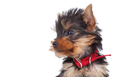 head collar: side view of a cute yorkie toys head, over white