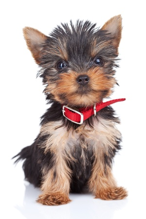 toy terrier: sitting yorkie toy, on a white background Stock Photo
