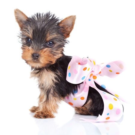 pinky: cute yorkie toy in a pinky bow on white background
