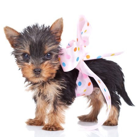 cute yorkie toy wrapped in a  pink bow on white background