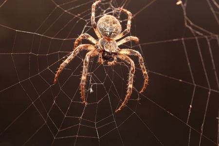 dreadful: Dreadful Cross spider on his net in the darkness.  Stock Photo