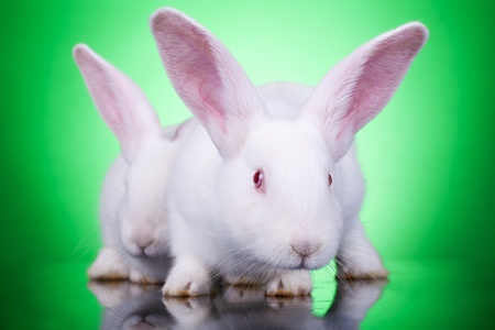 aggresive: aggresive look of two bunnies standing on a green background