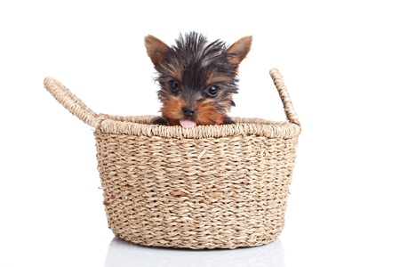 toy terrier: toy yorkie sitting in a small basket over white Stock Photo