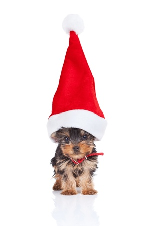 yorkie toy puppy standing with a big santa hat on white background photo