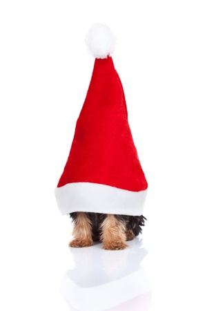 yorkie toy  in a big santa hat on white background Stock Photo - 10933426