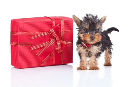 cute yorkie toy puppy standing near a big present on whute background photo