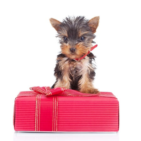 happy yorkie toy standing on a gift over white background