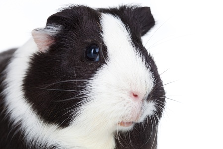 Close up of a adorable guinea pig isolated photo