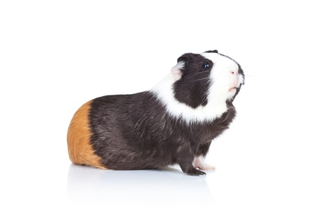 squeak: Black and white guinea pig on a white background