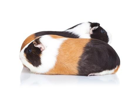cavie: Due simpatici porcellini d'India isolato su sfondo bianco