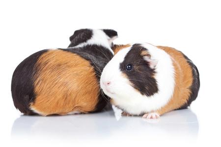 cavie: due porcellini d'India adorabili contro sfondo bianco