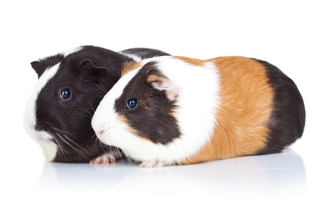 Two cute guinea pigs, isolated, side view photo