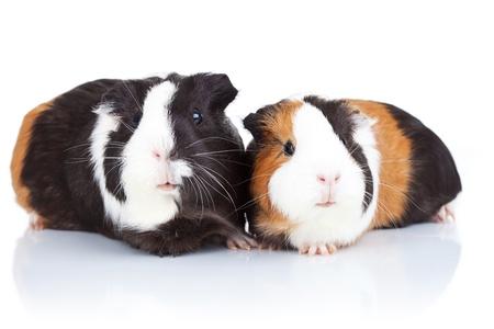 기니: 고립 된 두 귀여운 기니 돼지의 초상화