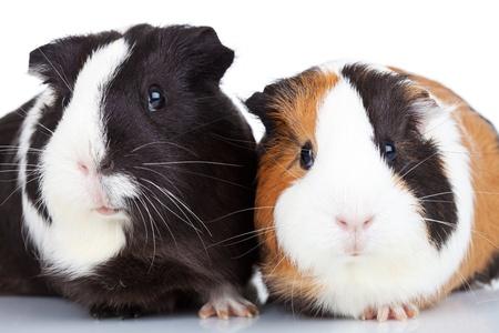 기니: 닫기 고립 된 두 귀여운 기니 돼지의 최대 스톡 사진