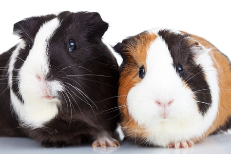 Close up of two adorable guinea pigs isolated photo